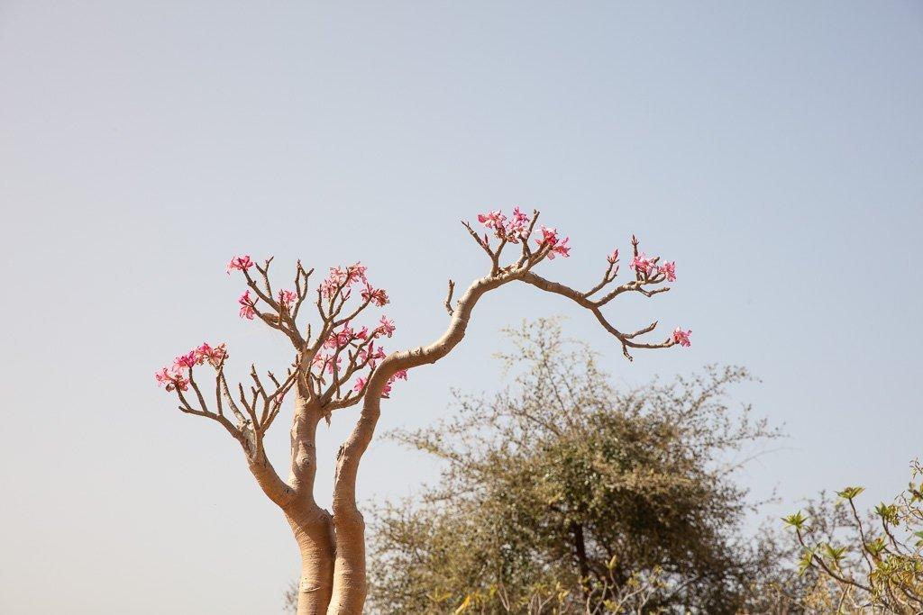 Desert Rose blooms Socotra, Socotra Island, Yemen, bottle tree, Socotra bottle tree, Adenium obesium, Adenium obesium Socoranum