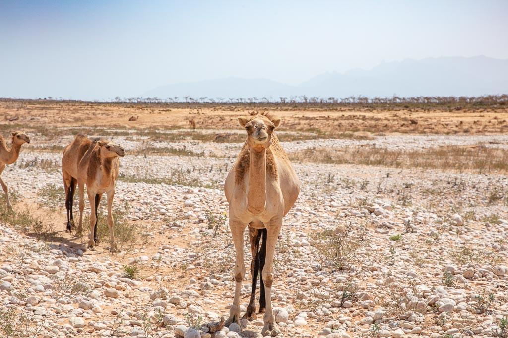 Socotra, Socotra Island, Yemen, camel, camels, Socotra camels