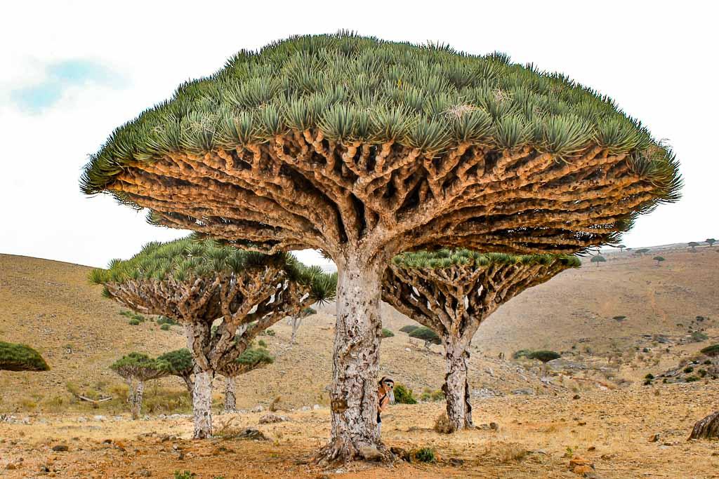 Yemen, Socotra, Socotra Island, dragon blood, dragon blood tree, dracaena cinnabari, dixsam, dixsam plateau