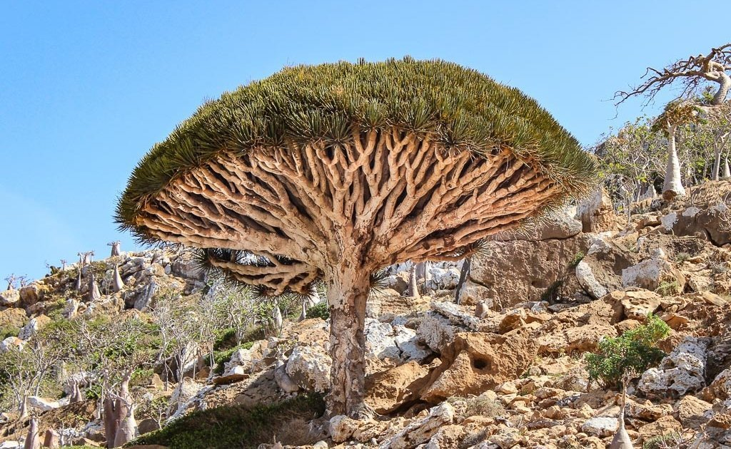 Socotra Tour, travel to Socotra, travel in Socotra, Socotra, Socotra Island, Yemen, Socotra Yemen, Socotra Island Yemen, Yemen Island, Yemen islands, Socotra Archipelago, Yemen, dragon blood tree, dragon blood trees, Socotra tree, homhil, homhil protected area, homhil socotra