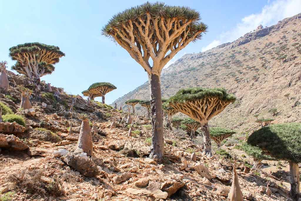 travel to Socotra, travel in Socotra, Socotra, Socotra Island, Yemen, Socotra Yemen, Socotra Island Yemen, Yemen Island, Yemen islands, Socotra Archipelago, Yemen, dragon blood trees, dragon blood tree, socotra tree, socotra dragons