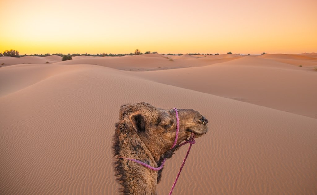 camel, sunset, Morocco, spend the night in the Sahara, camping Morocco, camp in Morocco, Sahara desert, desert, Merzouga, Erg Chebbi, campaign Africa