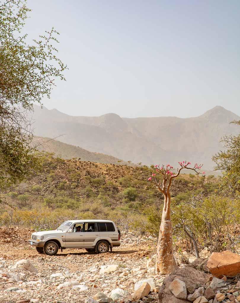 Socotra, Socotra Island, Yemen, Bottle tree, desert rose, Adenium obesium socotranum