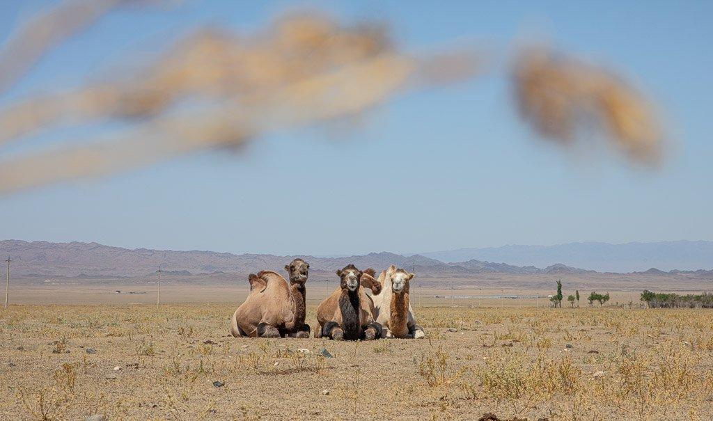 Charyn, Charyn canyon, canyon, kazakhstan, camel, camels, bactrian camel