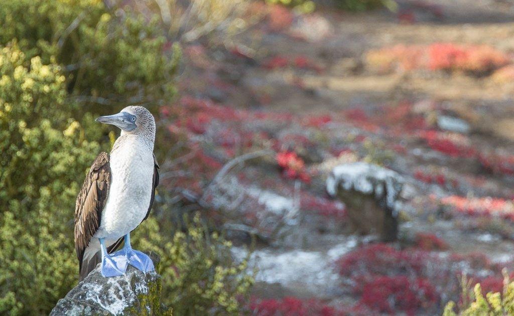 Galapagos, Galapagos Islands, Ecuador, Cheap Galapagos Cruise, Galapagos Cruise, Solitario Jorge, S/C Solitario Jorge, blue foot booby, blue footed booby