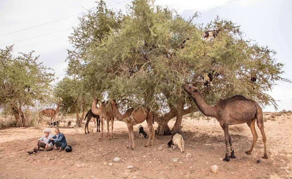goats in a tree, camels tree, camel tree, Morocco, South Morocco, Southern Morocco, Argan, Argan oil, Argan tree, Argan trees, Argan tree goats