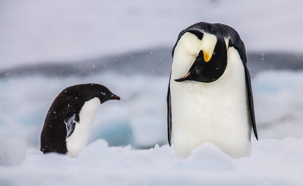 Antarctica Travel, Antarctica Travel Guide, Antarctica, Adelie penguin, Emperor Penguin, Penguins, Cape Hallet, Ross Sea, Oceanwide Expeditions