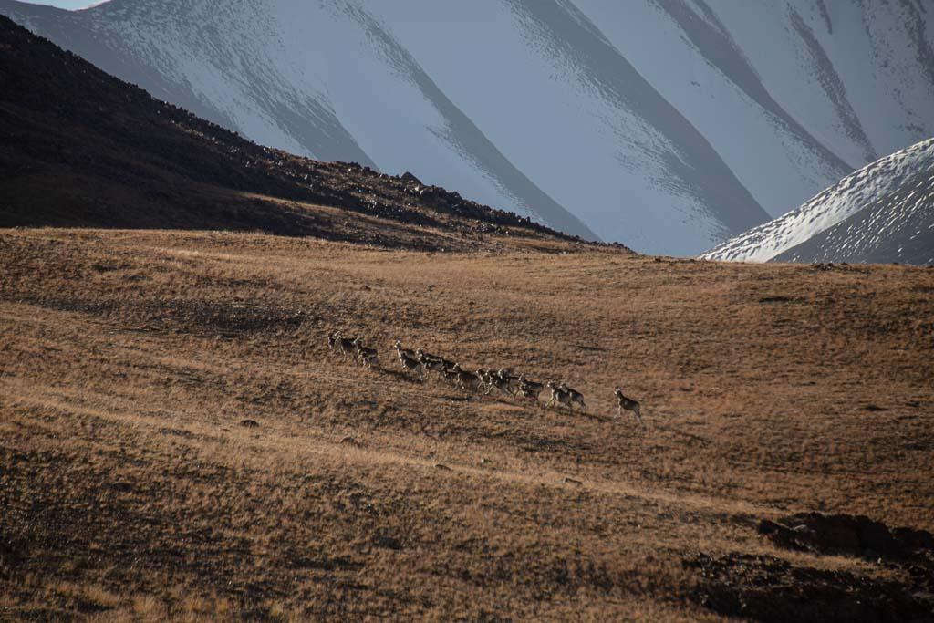 Marco Polo Sheep, Jarty Gumbez, Tajikistan, Eastern Pamir