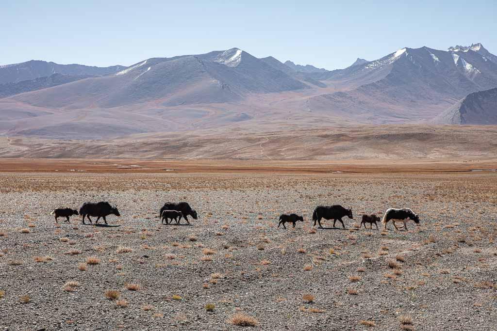 Yak, yak Alichur, Yaks, Yaks Alichur, Yaks Tajikistan, Yak Tajikistan, Alichur, Pamir, Pamirs, Pamir Highway, Eastern Pamir, Tajikistan