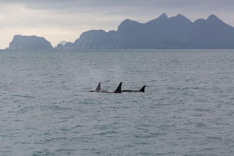 orca, offshore orca, killer whale, whale, gulf of Alaska, Alaska, resurrection bay, kenai fjords, kenai Fjords national park, major marine tours