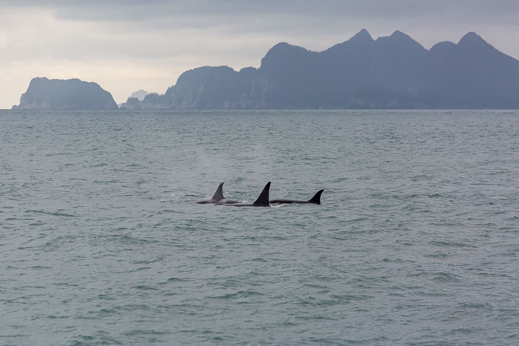 orca, offshore orca, killer whale, whale, gulf of Alaska, Alaska, resurrection bay, kenai fjords, kenai Fjords national park, major marine tours