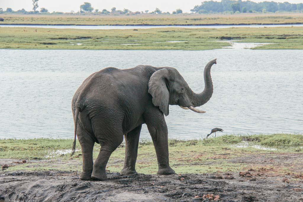 African elephant, elephant, elephant Chobe, Chobe National Park, Botswana