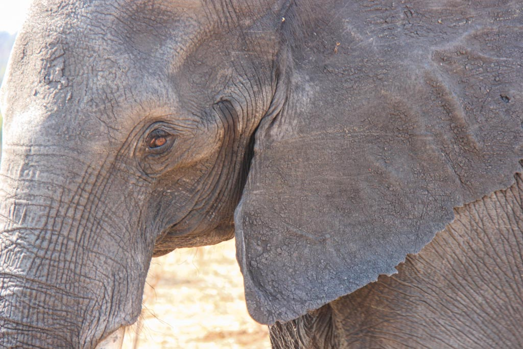 African elephant, elephant Chobe, Chobe, Chobe National Park, Botswana, Africa, Elephants