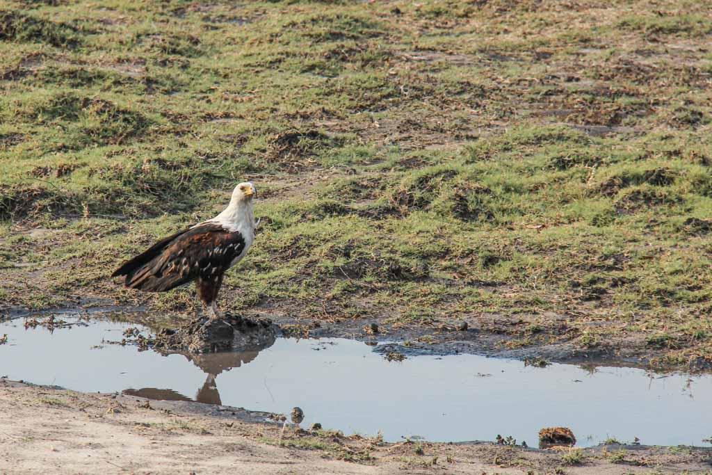 African fish eagle, eagle, African fish eagle Chobe, Chobe National Park, Botswana