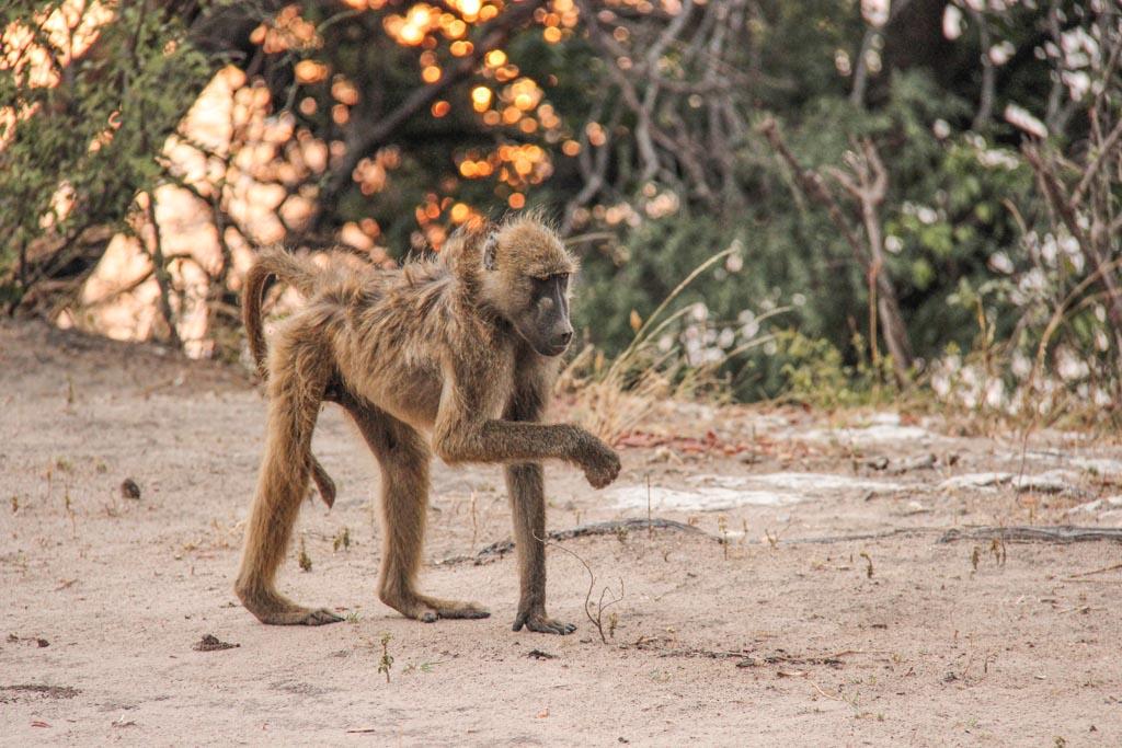 Baboon, Baboon Chobe, Chobe National Park, Botswana-3