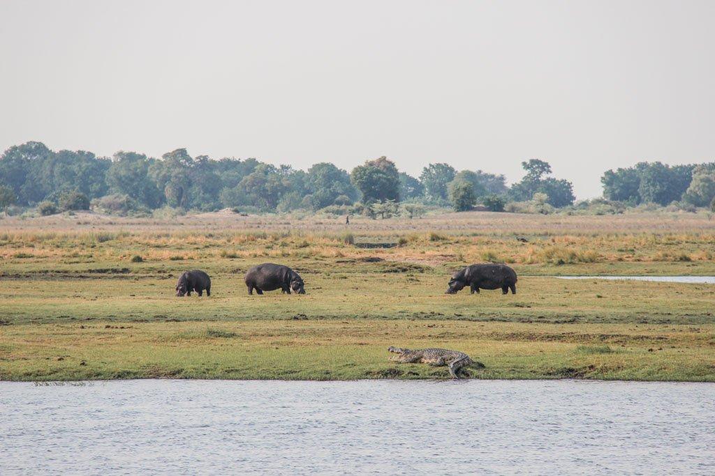 Crocodile, Chobe crocodile, Hippopotamus, hippo, Chobe National Park, Botswana