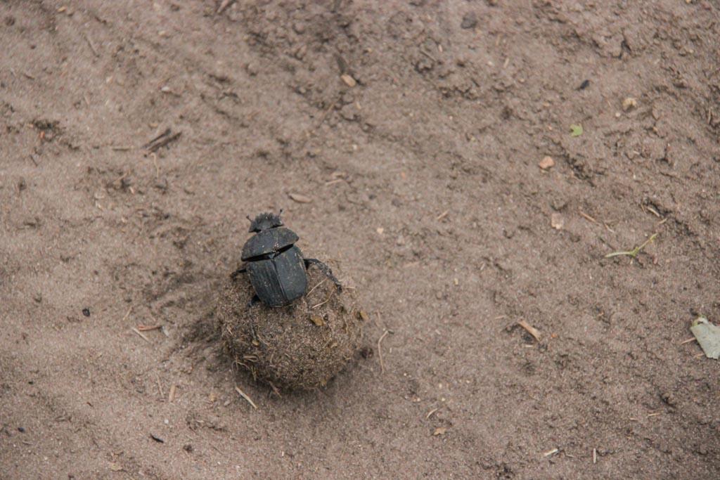 Dung Beetle, Chobe National Park, Botswana