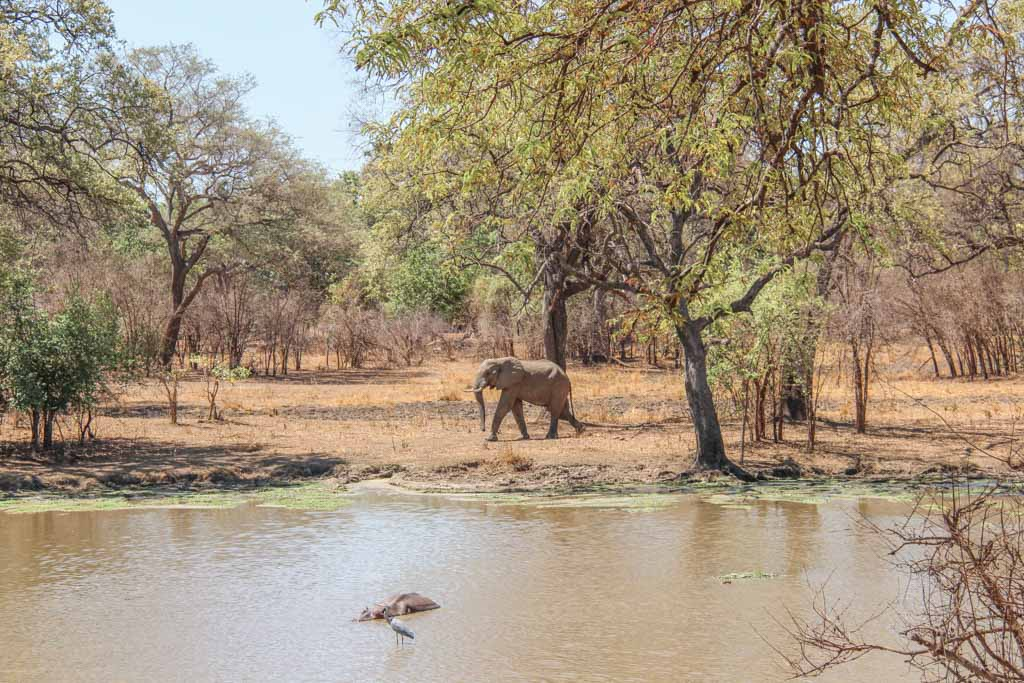 African Elephant and Hippo, South Luangwa, South Luangwa National Park, Zambia, Africa