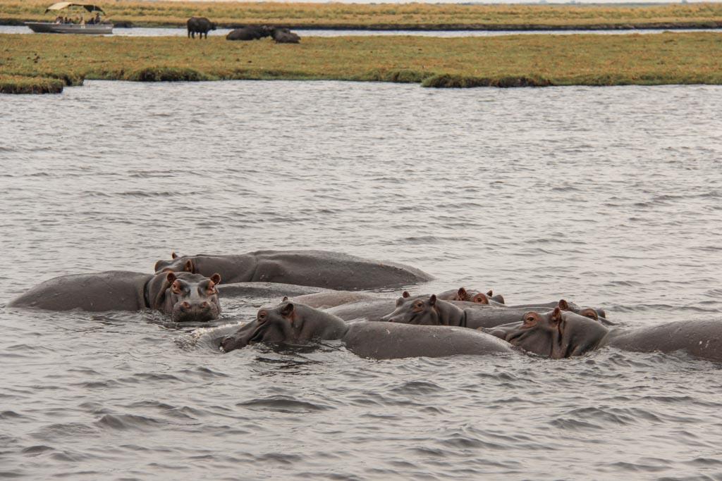 Hippopotamus, hippo, Chobe National Park, Botswana