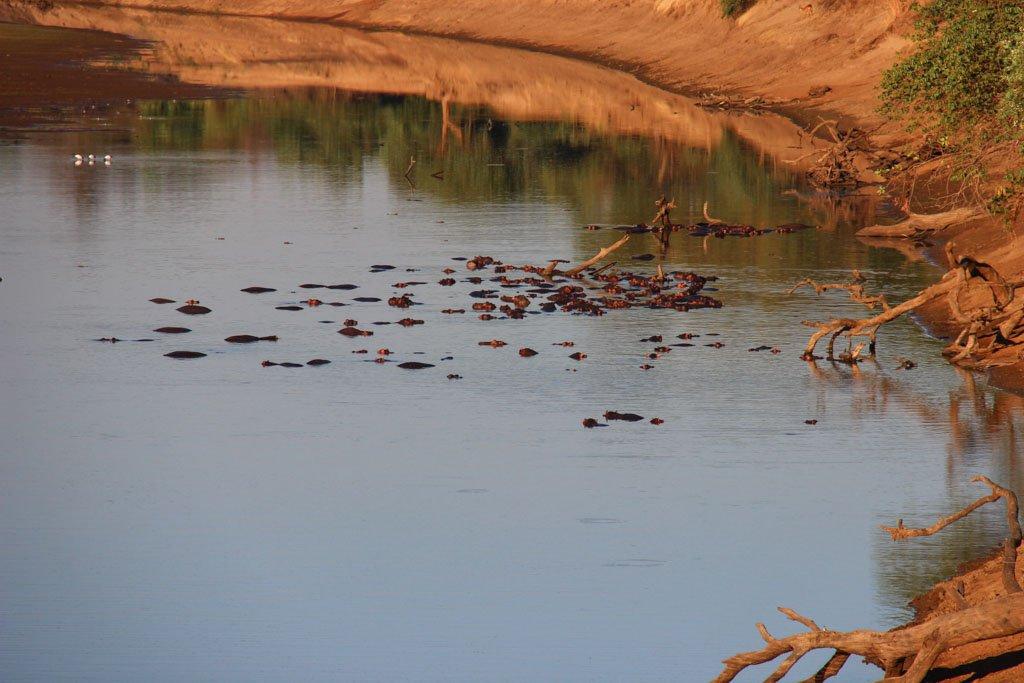 Hippos, South Luangwa, South Luangwa National Park, Zambia, Africa