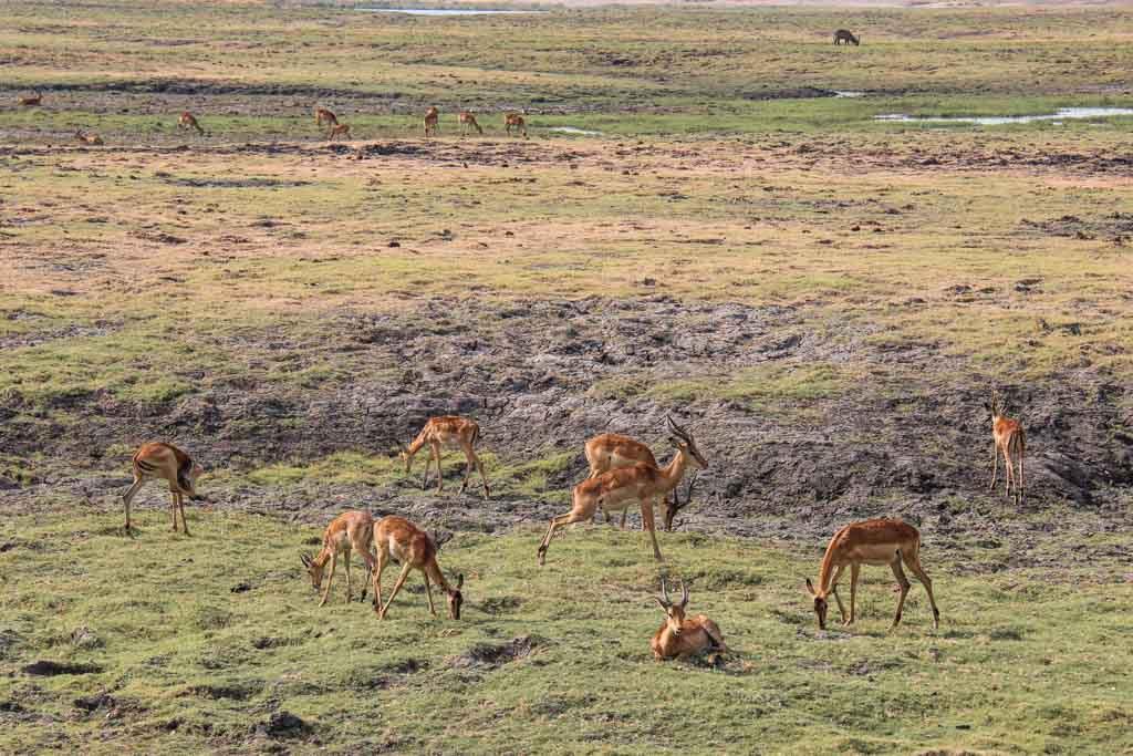 Imapala grazing, Impala, Chobe National Park, Botswana