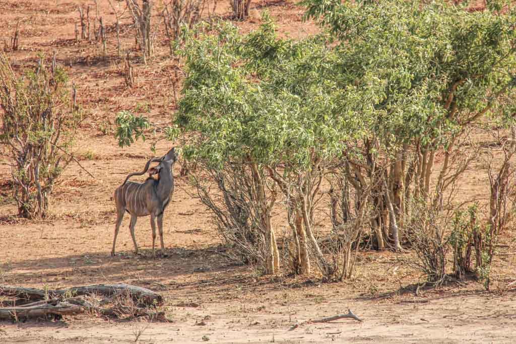 Kudu, Chobe National Park, Botswana