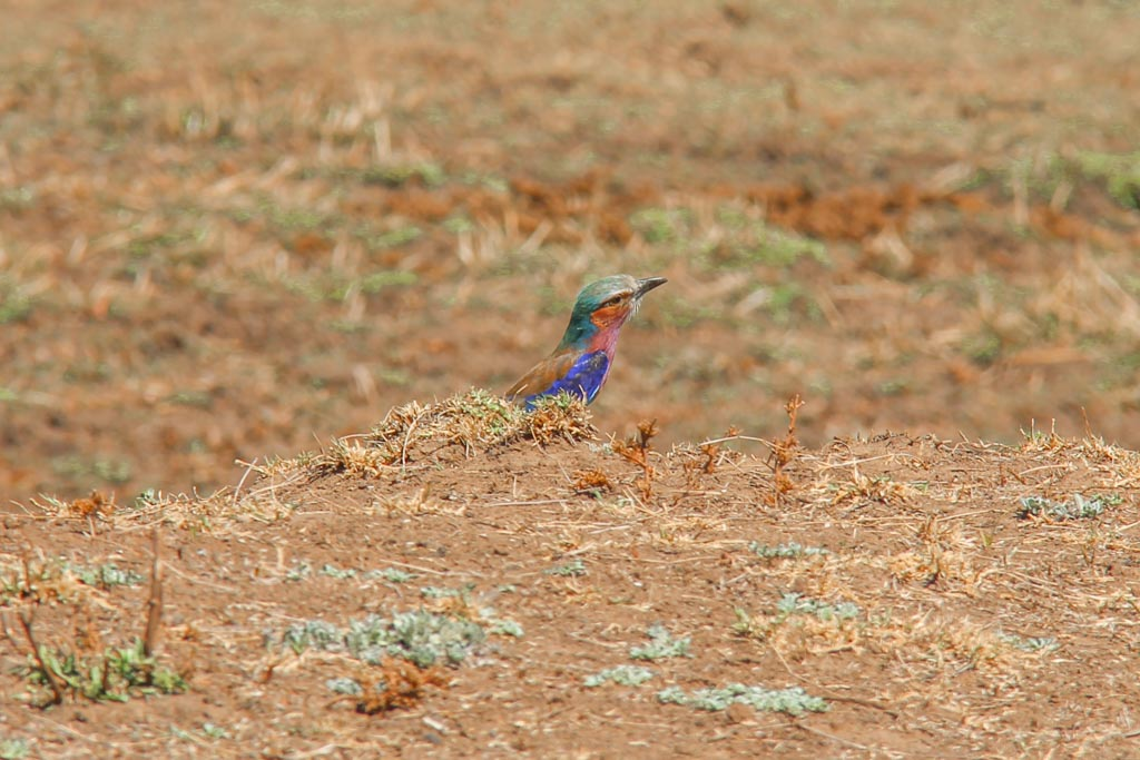 Lilac Breasted Roller, South Luangwa, South Luangwa National Park, Zambia, Africa