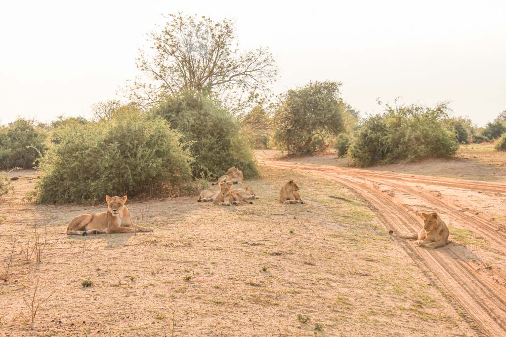 Lions, Chobe National Park, Botswana