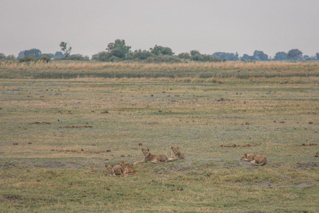 Lions, Lioness, Lions Chobe, Chobe National Park, Botswana