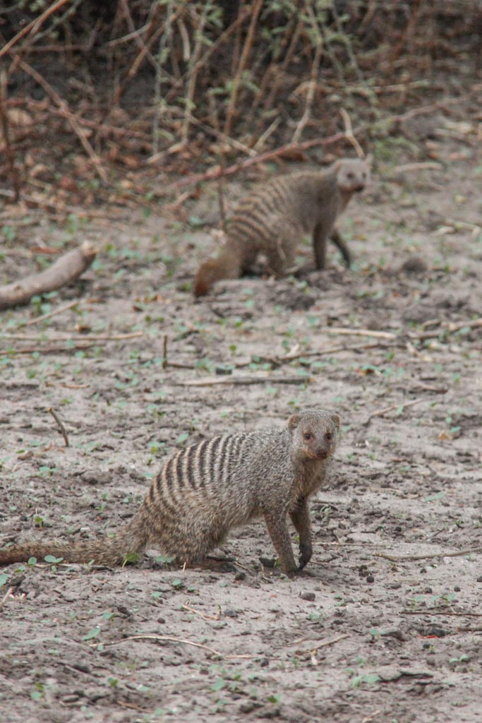Mongoose, Mongooses, Mongoose Chobe, Chobe National Park, Botswana