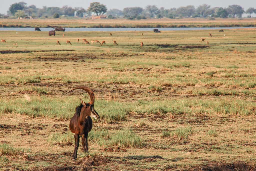 Sable antelope, antelope, Sable, Sable Chobe, Chobe, Chobe National Park, Botswana