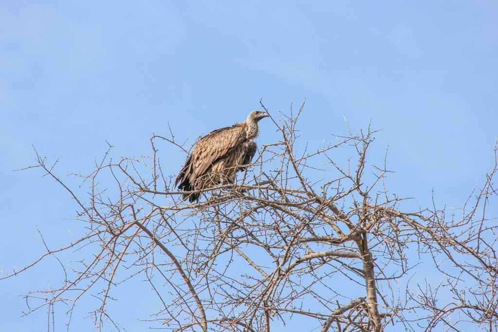 Vulture, Chobe National Park, Botswana