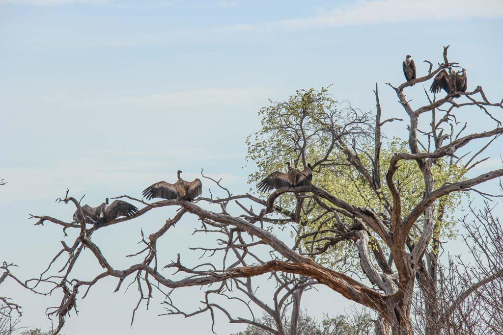 Vultures, Chobe National Park, Botswana