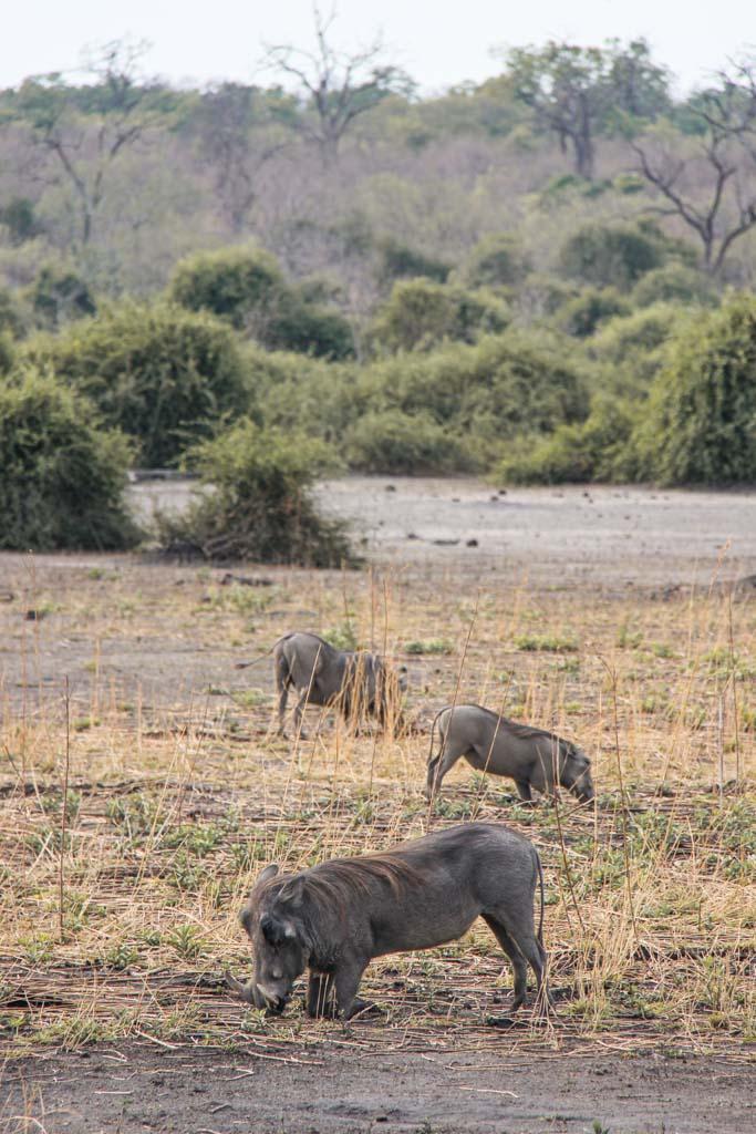 Warthogs, Warthogs Chobe, Chobe National Park, Botswana