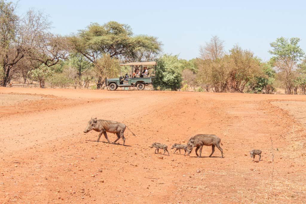 Warthogs, South Luangwa, South Luangwa National Park, Zambia, Africa