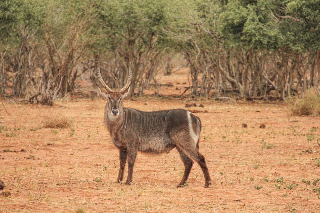 Waterbuck, Chobe National Park, Botswana