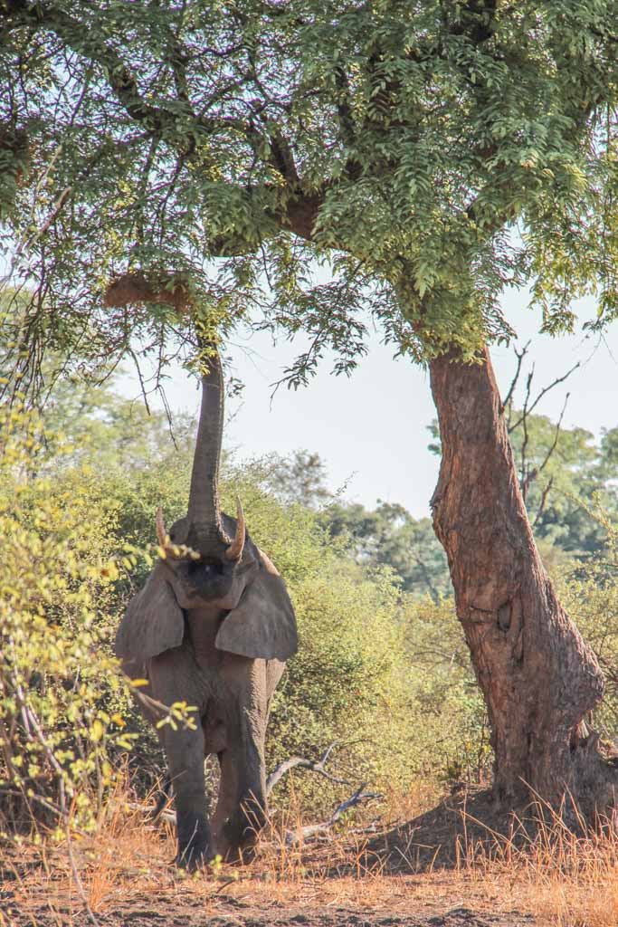 African Elephant, South Luangwa, South Luangwa National Park, Zambia, Africa
