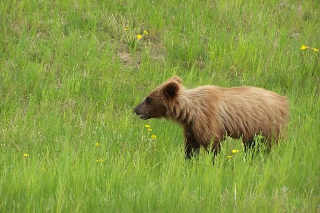 Bear Cub, Yukon Territory, Canada