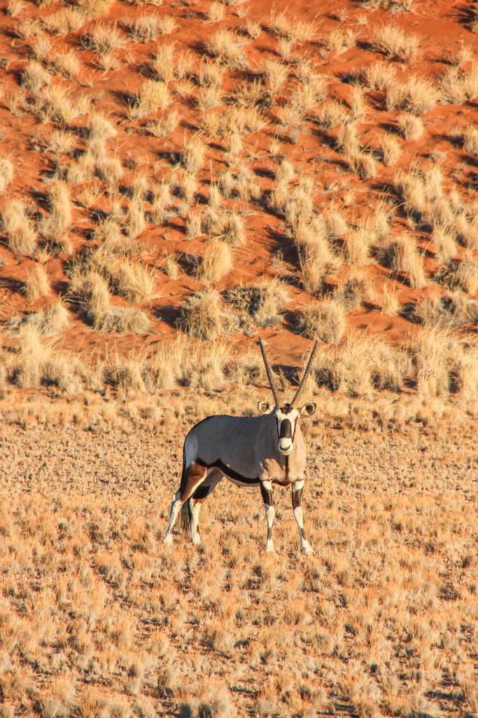 Gemsbok, Oryx, Sossusvlei, Namib-Naukluft National Park, Namibia
