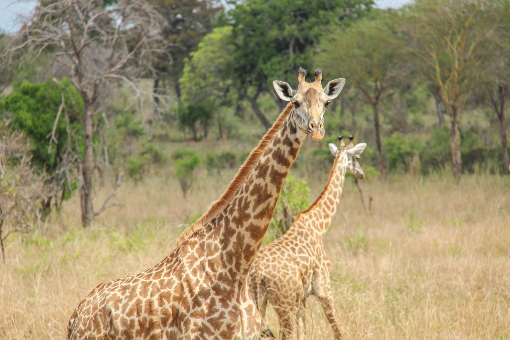 Giraffe, Mikumi National Park, Tanzania