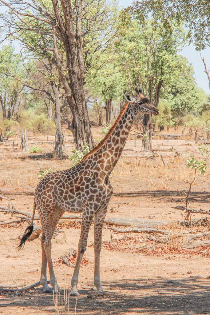 Giraffe, South Luangwa, South Luangwa National Park, Zambia, Africa