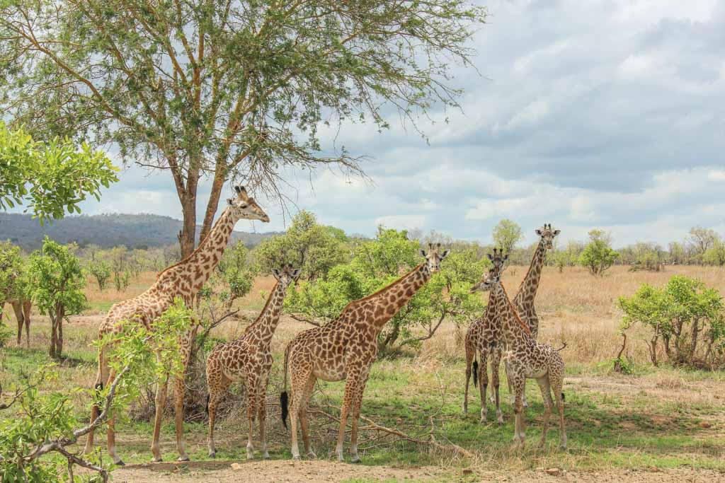 Giraffe, giraffes, tower, Tower of Giraffes, Mikumi National Park, Tanzania
