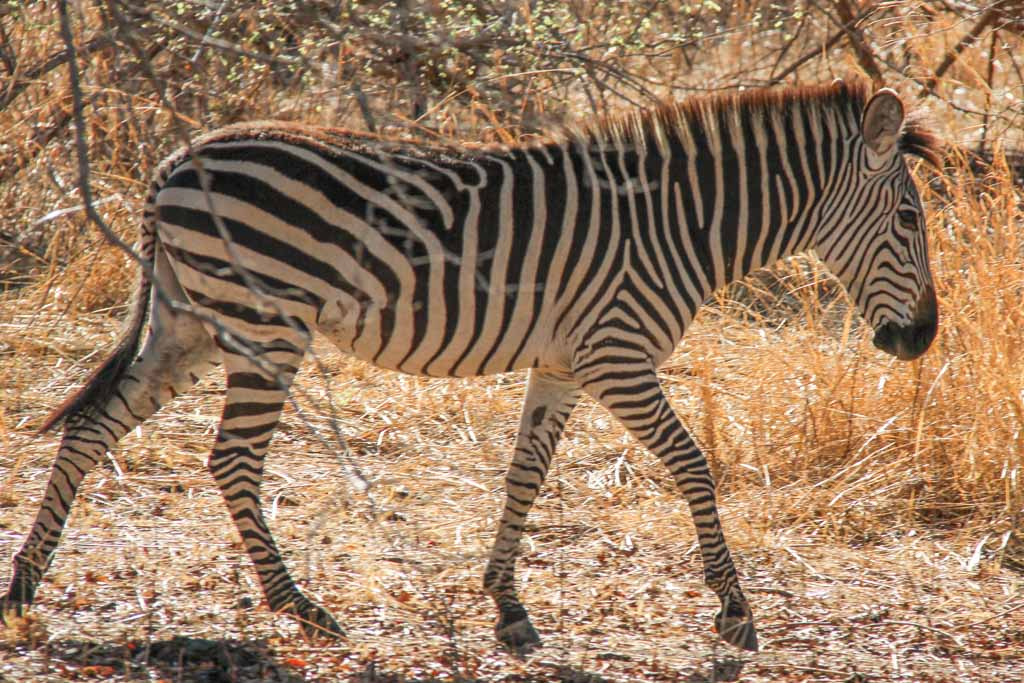 Zebra, South Luangwa, South Luangwa National Park, Zambia, Africa