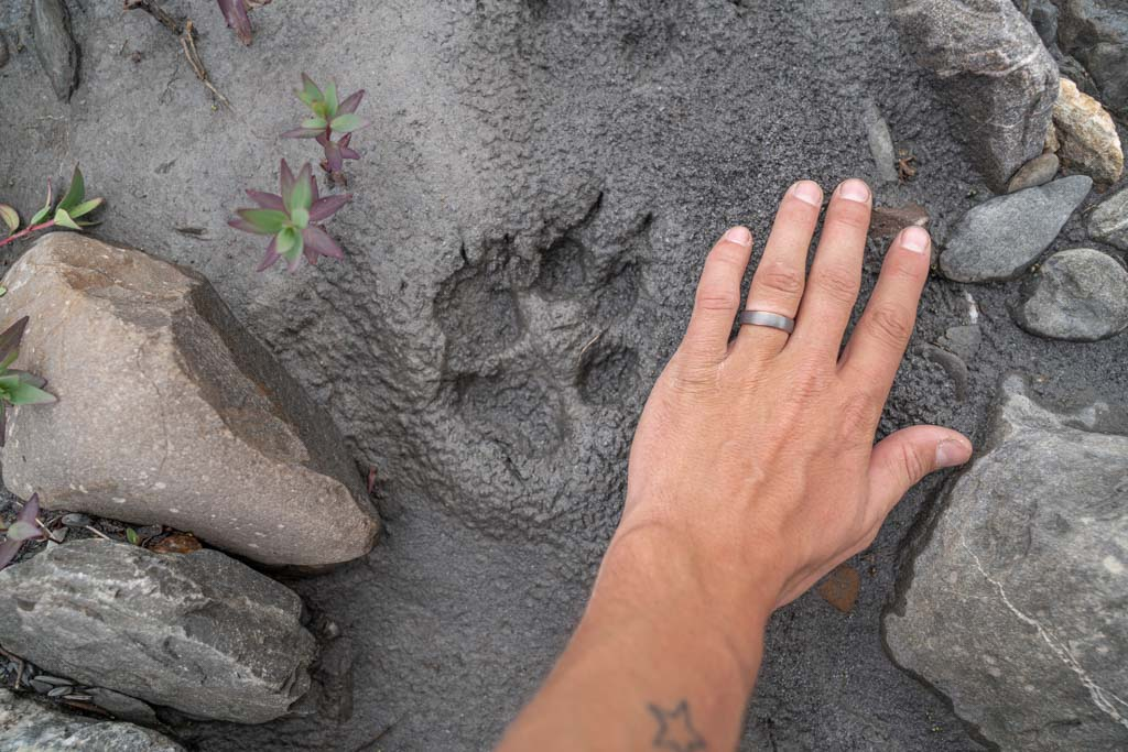 Wolf track, Gates of the Arctic, Alaska, wolf print, wold paw
