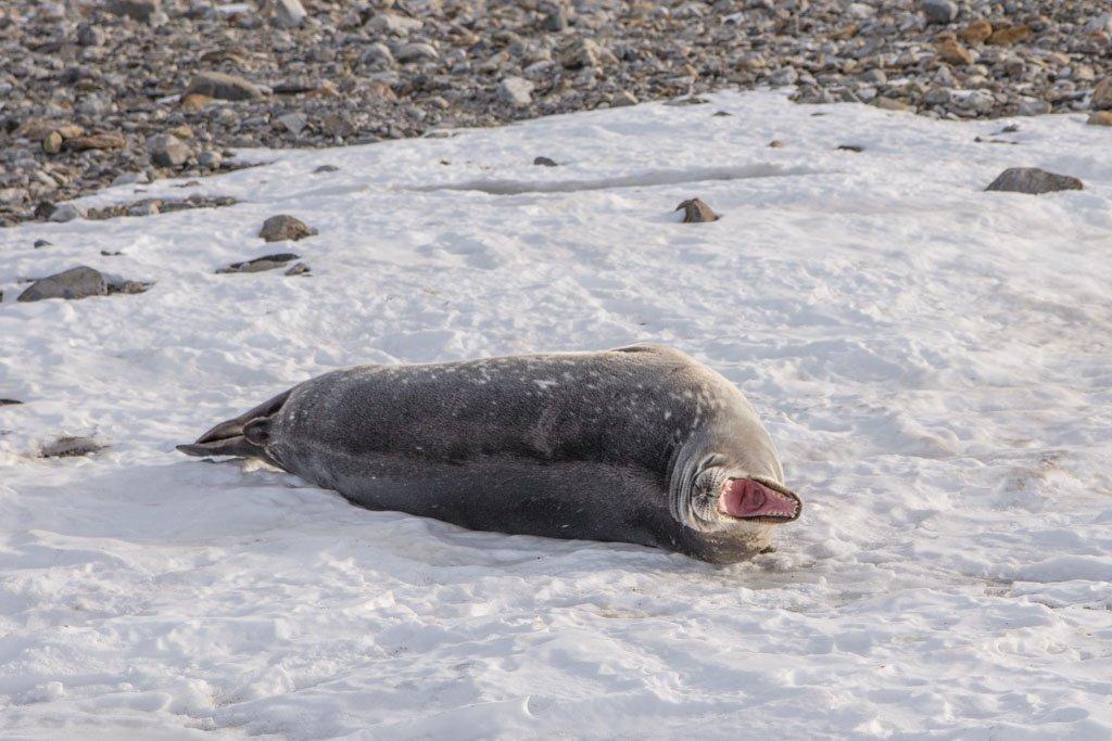 Weddell Seal, Gondwana Station, Terra Nova Bay, Antarctica, yawning seal, yawning weddell seal