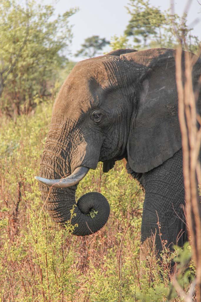 African Elephant, Bwabwata National Park, Caprivi Strip, Namibia