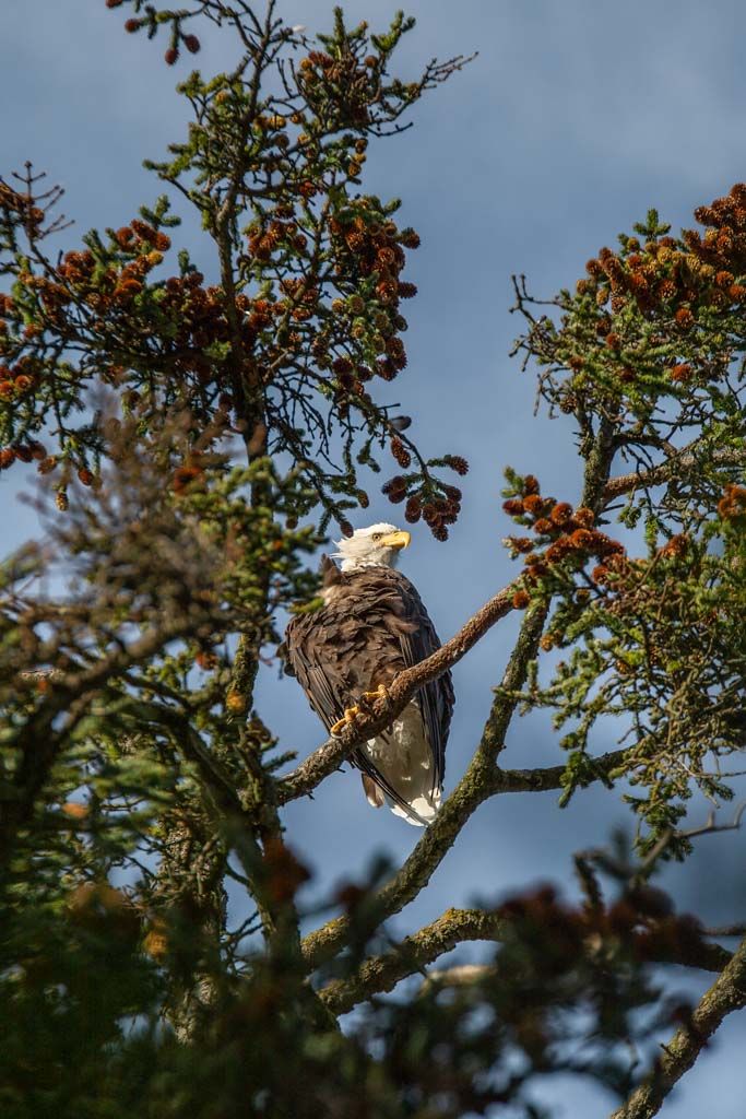 Bald Eagle, Kasitsna Bay, Kachemak Bay,  MacDonald Spit, Alaska