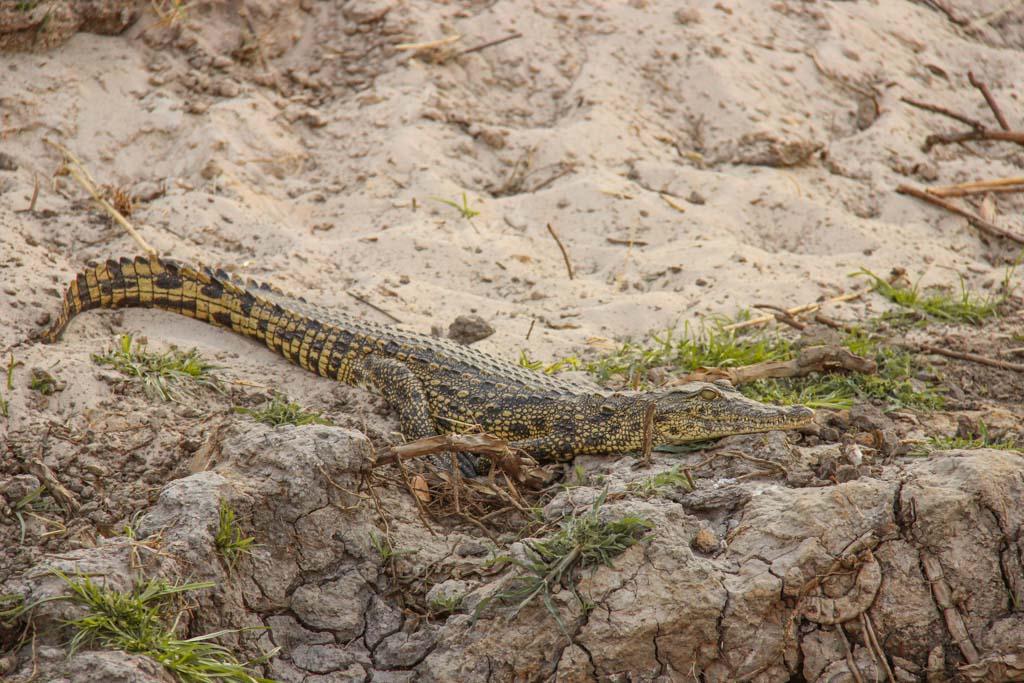 Crocodile, Okavango River, Mahango Game Reserve, Bwabwata National Park, Caprivi Strip, Namibia